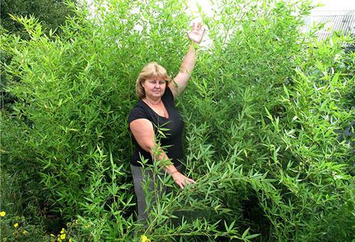 Заросли бамбука в саду