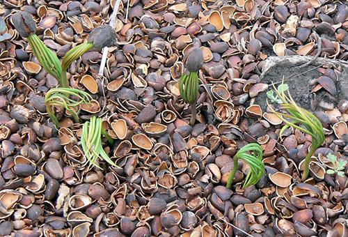 Проросшие кедровые орешки