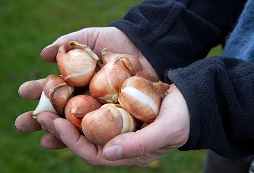 Луковицы тюльпанов в руках