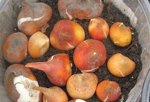 Луковицы тюльпанов на слое грунта