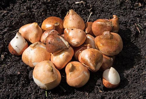 Подсушенные луковицы тюльпанов