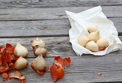 чищенные луковицы тюльпанов