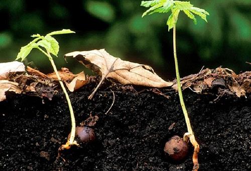 Проросшие орехи каштана