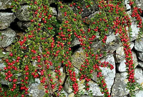 Ветви кизила с ягодами