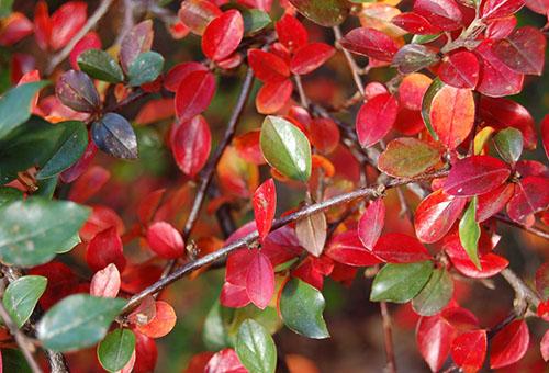Листья кизильника блестящего осенью