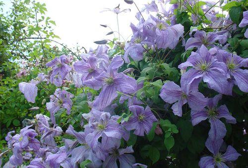цветение клематисов