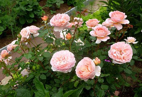 Розы сорта Абрахам Дерби