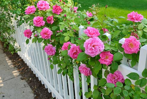 Цветущие кустовые розы