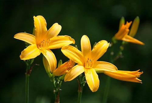 Желтый лилейник