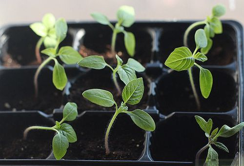 ростки ипомеи