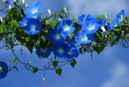 цветущая синяя ипомея