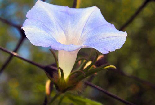 ипомея noctiflora луноцвет