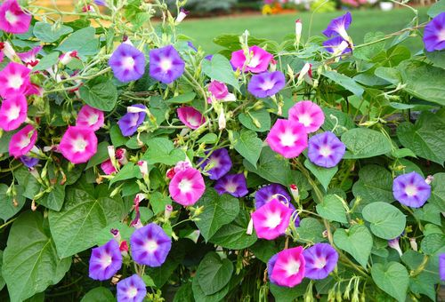 цветущие ипомеи