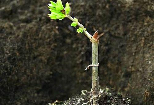 росток калины