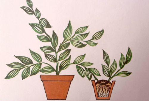 размножение растения горизонтальными отводками