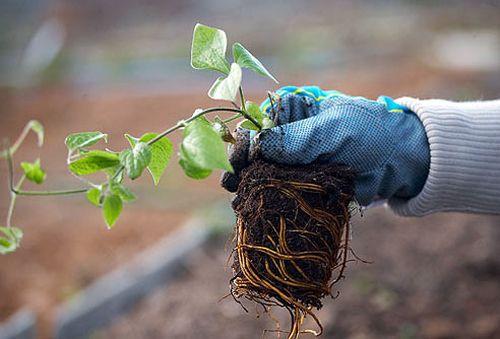 пророщенный княжик семенами перед посадкой в грунт