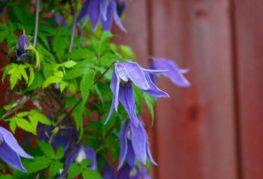Княжик Альпийский с фиолетовыми цветами