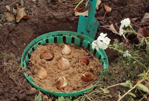 Луковицы тюльпанов в специальной корзине