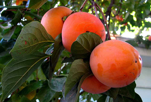 Плоды хурмы на ветке
