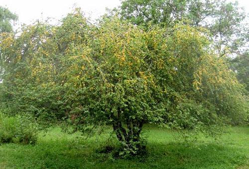 Дерево алыча