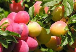 Плоды алычи на ветках