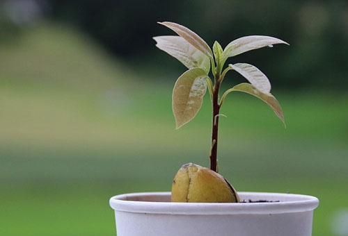 Росток авокадо