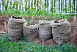 Картофель, растущий в мешках