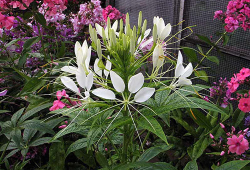 Цветок клеомы