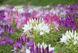 Цветущая клеома