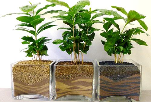 Деревца кофе в декоративных емкостях