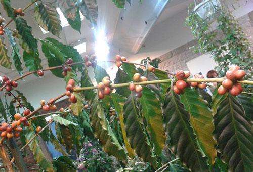 Желтеют листья у кофе