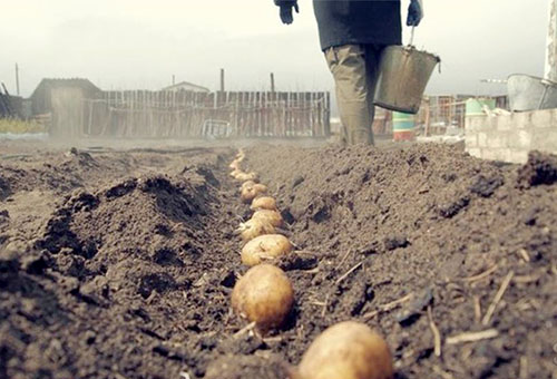 Посадка картофеля