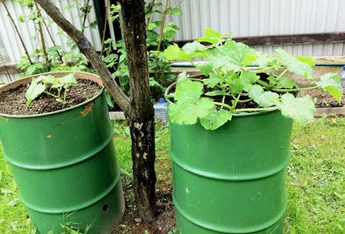 Выращивание огурцов в жестяных бочках
