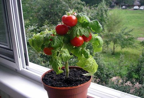 Низкорослый томат для выращивания на балконе