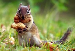 Бурундук с арахисом