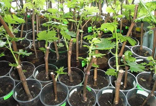 Проращивание черенков винограда