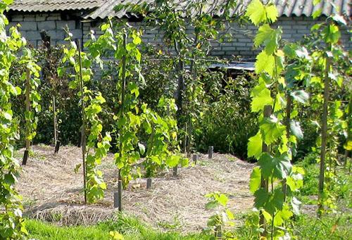 Укоренившиеся виноградные черенки