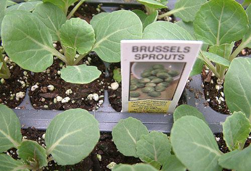 Рассада брюссельской капусты