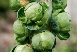Кочанчики брюссельской капусты