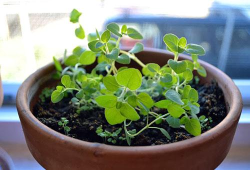Выращивание душицы