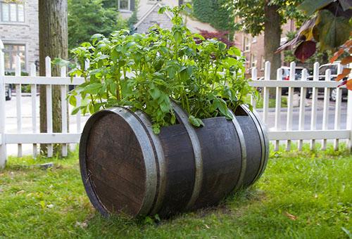 Выращивание картофеля в деревянной бочке