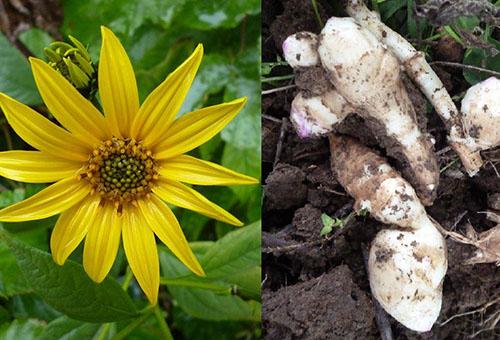 Цветок и корневище топинамбура