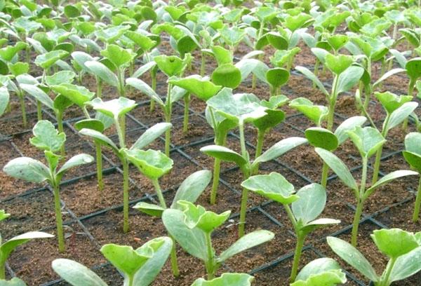Выращивание арбузной рассады