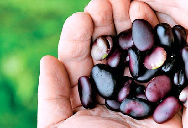 Бобы - выращивание и особенности ухода