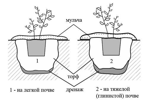 Схема посадки голубики