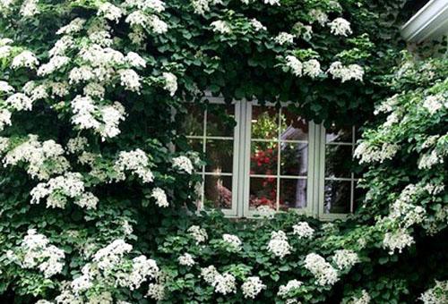 Цветение плетистой гортензии
