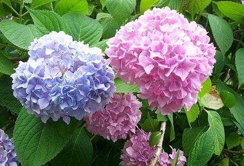 Цветущая гортензия