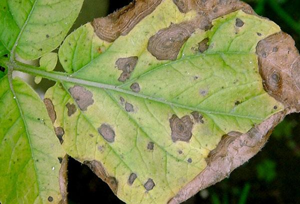 Проявление антрактоза на листе фасоли