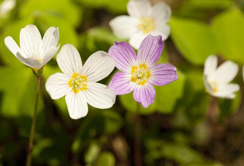 Цветы кислицы садовой