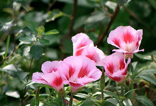 Цветет кларкия
